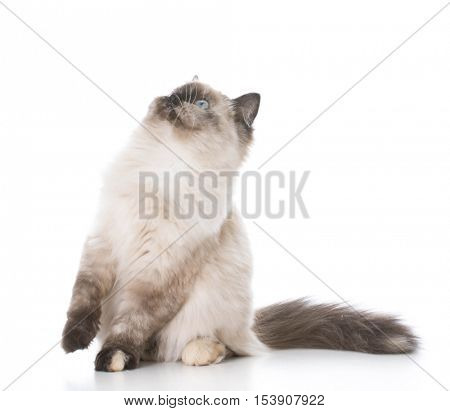 ragdoll kitten looking up on white background