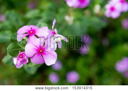 Vinca violet flower on green background (Madagascar periwinkle)