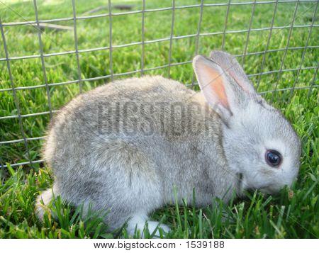 Light Gray Baby Bunny