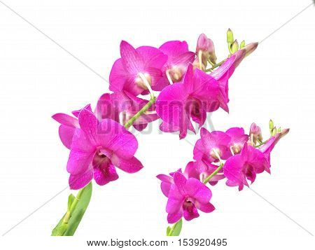 beautiful orchid on white background for background use