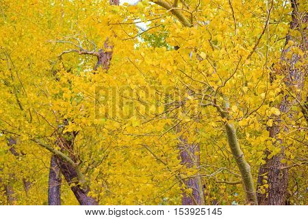 Cottonwood Trees changing colors during autumn foliage