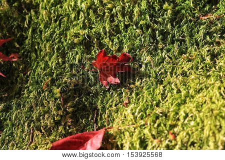 a red maple leafs on earth at 2014