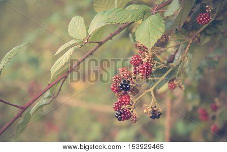 Soft Photo Of Dewberries On Shrub