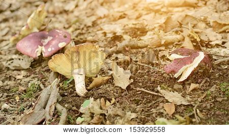Mushrooms on the forest ground a sunny day