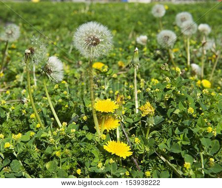 Dandelion seeds and flowers in garden or lawn seeds ready for dispersal by wind