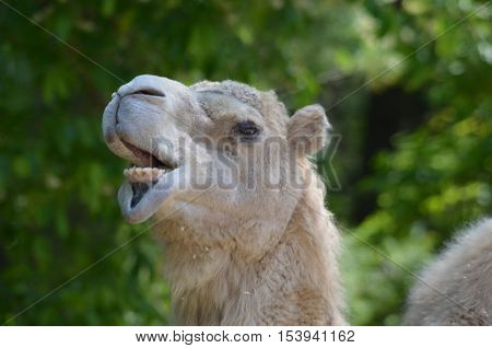 Silly camel making unusual and humorous faces.