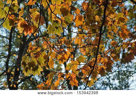 Autumn color leaf with sky. Photo for your background.