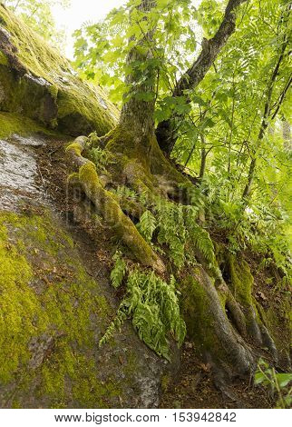 the tree grows on the stony ground the roots covered with green moss mon repos Park Vyborg Russia rainforest rainy weather