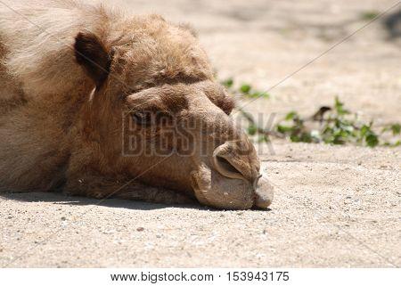 Camel sleeping drowsily in the warm sunshine.