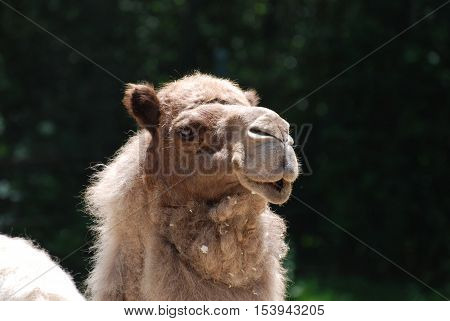 Dromedary camel profile shot with trees in the background.