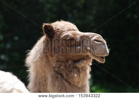 Profile of a great shaggy furred camel.