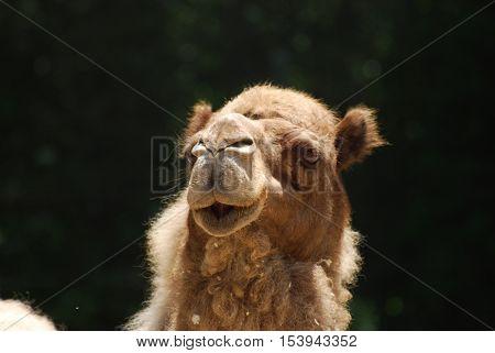 Cute face of a dromedary camel with fluffy fur