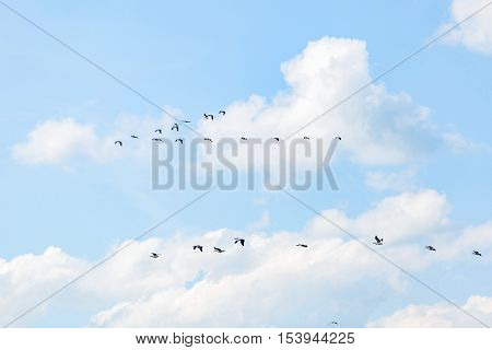 Landscape photo of flying white pelicans under the cloudy blue sky