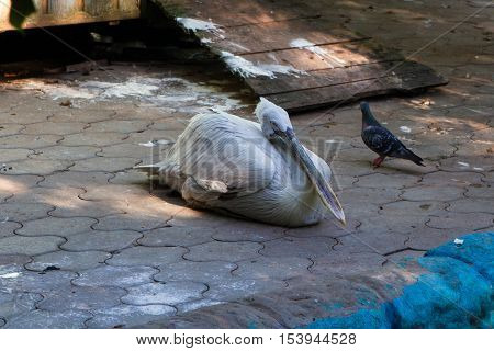 Dalmatian pelican (Pelecanus crispus). Wildlife animal. Pelicans family in the zoo
