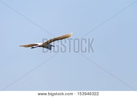 Photo of a flying white great egret
