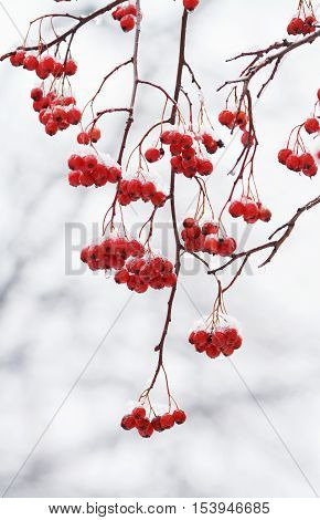 branch with red ripe berries of mountain ash covered with white snow
