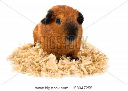 guinea pig on sawdust on white background