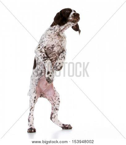 cute german shorthair pointer standing on back legs