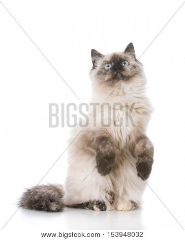 purebred ragdoll kitten isolated on white background