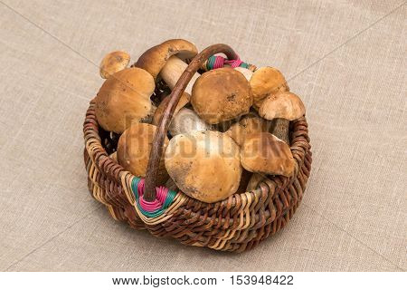 Group of porcini mushrooms on linen. The natural color and texture. Cep mushrooms in the basket