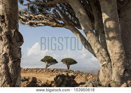 dragon blood tree dracaena cinnabari on an island of Socotra