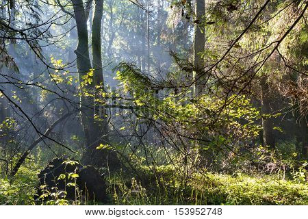 Sunbeam entering rich deciduous forest misty morning with old alder trees in background, Bialowieza Forest, Poland, Europe