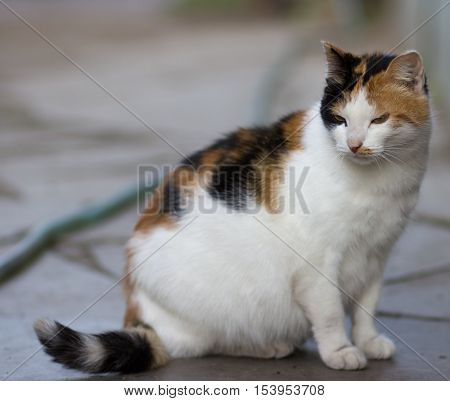 Pregnant cat color tortie with white sits on the tile