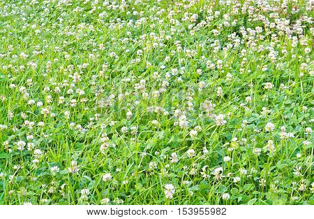 a carpet of young green clover with white flowers in spring on a meadow decorative