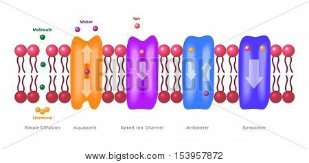 Mechanisms for the transport of ions and molecules across cell membranes. Types of a channel in the cell membrane: simple diffusion, Aquaporin, Gated ion channel, Symporter and Antiporter . anatomy