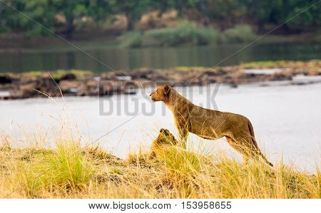 Lion standing on the bank of the Zambezi River