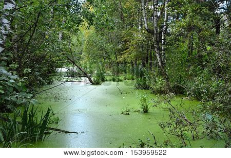 forest swamp day in the summer in Sunny weather the water covered with duckweed around the marshes grow white birch aspen pine reeds