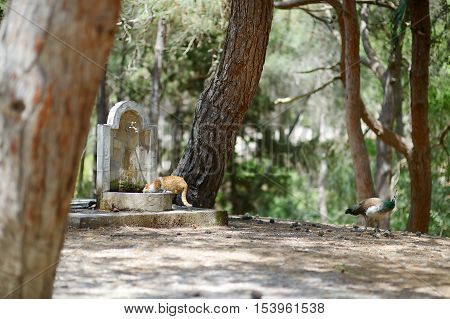 Peacocks And Cats Living Together In Plaka Forest