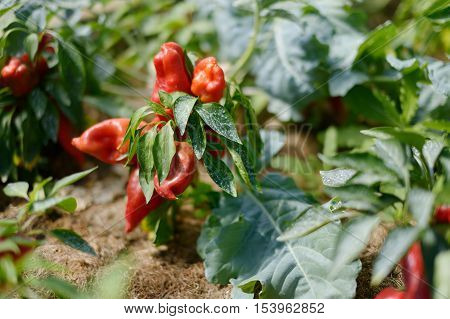 Pepper Plant Sprayed With Mixture Against Infections