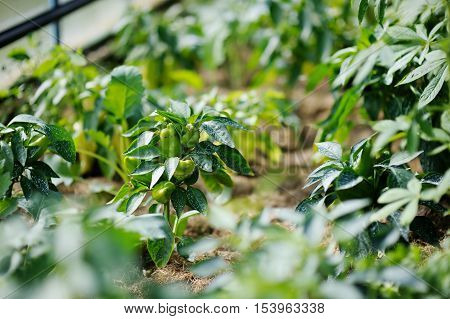 Pepper plant sprayed with protective mixture against infections