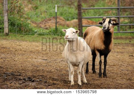 Two sheep in a barnyard. One white and the other brown and black