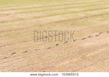 little rice plants growth in mud field paddy-sown field
