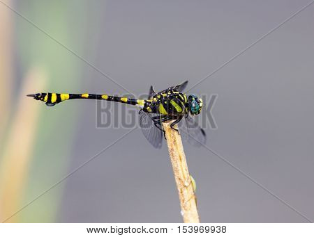 The golden-ringed dragonfly is a striking specimen with an elongated black and yellow striped abdomen. This species is widespread but these were photographed near Bangalore India.