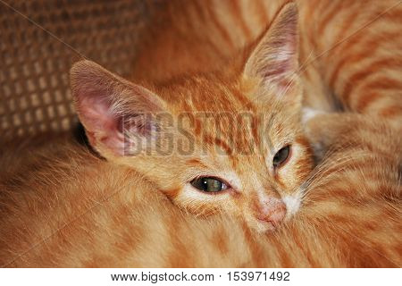 tiger striped kittens snuggling with one another
