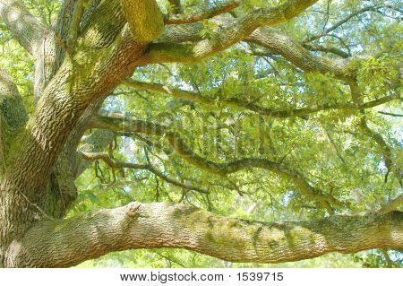 Mighty Oak.