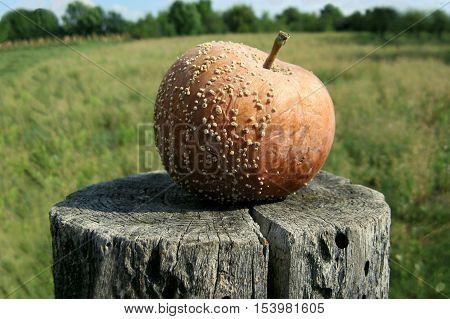 Rotten apple in the wood stump. Rotten apple on grass background.