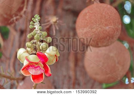 Beautiful in pink of  cannonball flower (call Sal Flower in Thai) and fruit on tree. Selective focus.