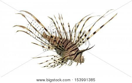 Side view of a Pterois volitans or red lionfish looking down