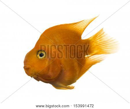 Parrotfish diving isolated on white