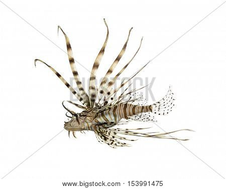 View from below of a Pterois volitans or red lionfish isolated on white