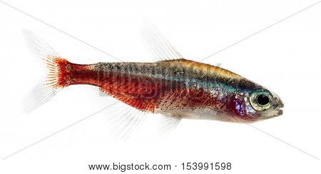 Side view of a Cardinalis fish or cardinal tetra isolated on white