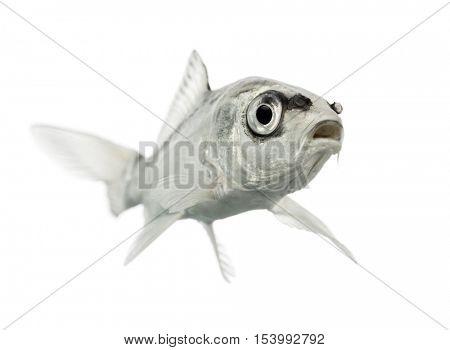 grey koi mouth open isolated on white