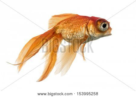 Side view of a Goldfish in water islolated on white