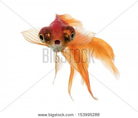 Front view of a Goldfish in water, islolated on white