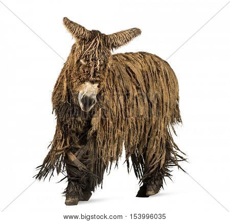 Poitou donkey with a rasta coat walking isolated on white