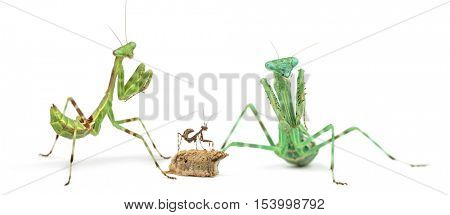Male, female, ootheca and young African Pinstripe Mantis, praying mantis, Miomantis binotata, isolated on white
